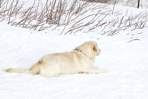 labrador in snow