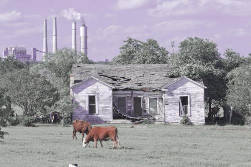 factory cows